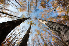 Autumn sky in birch forest Stock Photography