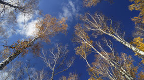Autumn sky in birch grove. Royalty Free Stock Photography