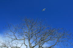 Autumn sky. A bird soars over a bright autumn sky over a tree without any leaves Royalty Free Stock Photos