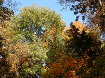 Autumn sky through the crown of trees. Autumn blue sky is visible through the crown of trees. Nature painted leaves in various colors. In-field many trees are stock photo
