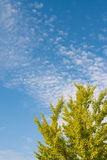 Autumn sky and ginkgo tree Stock Images