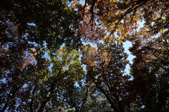 Autumn sky and golden-leaved trees Stock Photos