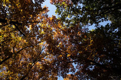 Autumn sky and golden-leaved trees Stock Image
