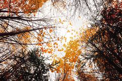 Autumn sky landscape with the yellowed autumn trees extending to the sky. Cloudy autumn landscape in foggy weather Royalty Free Stock Photos