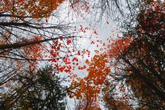 Autumn sky landscape with the yellowed maple autumn trees extending to the sky. Autumn sky landscape with the bright red autumn maple trees extending to the sky royalty free stock photography