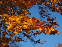 Autumn, Sky, Leaf, Branch Royalty Free Stock Image