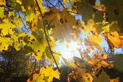 Autumn sky through maple leaves. Autumn sky. Bright sunlights through autumn maple leaves royalty free stock image
