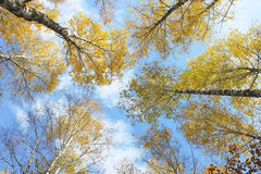 Autumn sky. The trees on the background of the autumn sky with clouds on a clear sunny day Stock Photos
