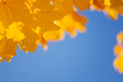 Autumn sky and yellow maple leaves border Royalty Free Stock Photo