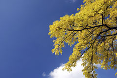 Autumn sky and yellow top of treebottom view Royalty Free Stock Photo