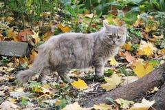Autumn small grey smoky cat royalty free stock photography