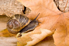 Autumn snail Royalty Free Stock Images