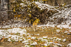 Autumn snow and ginger cat Stock Photo