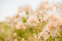 Autumn soon. Summer grass in the field. ripe dandelions. fluff against the sky. A concept without allergiess.Beautiful bokeh and w