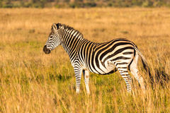 Pregnant zebra Royalty Free Stock Photography