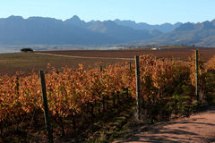 Autumn in South Africa. Vineyards in Autumn in Stellenbosch Western Cape Royalty Free Stock Images