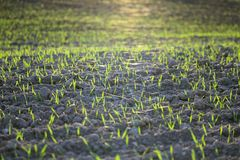 Autumn sowing. Agricultural field on which grow green shoots of wheat in sunset sunlight. Autumn season. Photo taken closeup stock image