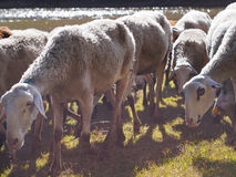 Autumn in Spain – white sheep near lake Royalty Free Stock Images