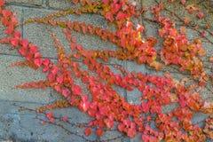 Autumn in Spain. Autumn colours growing across a grey wall - Cangas, Galicia - Spain Stock Photos
