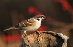 Autumn sparrow Stock Photography