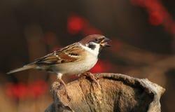 Autumn sparrow Stock Photography
