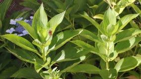 Autumn Spider på en vanlig hortensiaväxt lager videofilmer