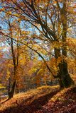 Autumn spirits in the woods. Wonderful natural background of trees in reddish and yellowish foliage on a hill royalty free stock images