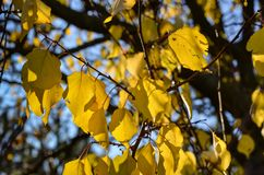 Yellow leaves of apricot Prunus armeniaca in the autumn sun rays against the blue sky. Shooting from the bottom up. Macro. Witho stock photo
