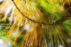Autumn spruce in the sunlight. Autumn spruce in the sunshine Stock Photo