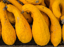 Autumn Squashes Stock Photography