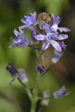 Autumn Squill Stock Image
