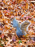 Autumn Squirrel Stock Photo