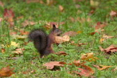 Autumn squirrel Royalty Free Stock Photo