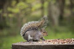 Autumn Squirrel avec un écrou Images libres de droits