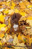 Autumn squirrel Royalty Free Stock Photography