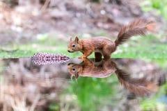 Autumn Squirrel med en pinecone i vatten med reflexion Royaltyfria Bilder