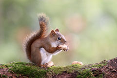 Autumn Squirrel with a Nut. An american red squirrel (Tamiasciurus hudsonicus) sitting on a branch in autumn eating a peanut Stock Image
