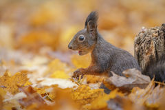 Autumn squirrel royalty free stock photos