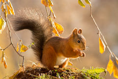 Autumn squirrel Royalty Free Stock Images