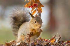 Autumn squirrel Stock Image