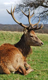 Autumn Stag, Richmond Park Royalty Free Stock Photos