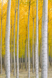 Autumn Stand of Trees Blazing Yellow Autumn Fall Color Stock Photo