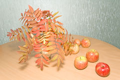 Autumn still life. Apples with autumn rowan leaves Royalty Free Stock Images