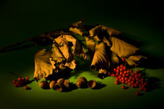 Autumn still-life. With acorn, ashberry and dry oak leaves Stock Photography