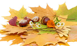 Autumn still life. With chestnuts, maple leaves, chamomile and calendula Stock Photo