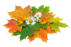 Autumn still life. Maple leaves, flowers of calendula and chamomile Stock Photography