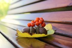 Autumn still life from acorns and mountain ash on yellow autumn leaves. Close-up. Royalty Free Stock Photo
