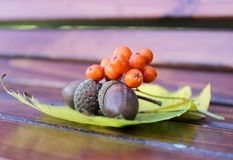 Autumn still life from acorns and mountain ash on yellow autumn leaves. Close-up. Stock Images