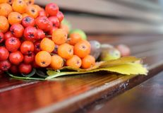 Autumn still life. Red and yellow mountain ash on yellow autumn leaves. Close-up. Royalty Free Stock Images
