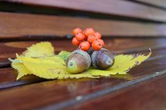 Autumn still life from acorns and mountain ash on yellow autumn leaves. Close-up. Stock Image